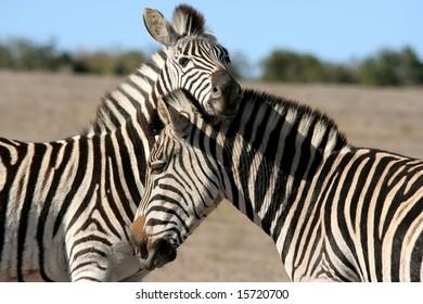 Zebra Mating Images Stock Photos Vectors Shutterstock