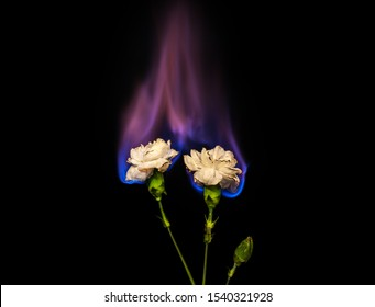 Two burning flowers on fire. white carnation flower in flame over black background with blue blaze. Creative unusual unrequited love or sadness concept.