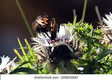 Two Butterflies Aglais urticae (Kleiner Fuchs) on a carline thistle (carlina acaulis)