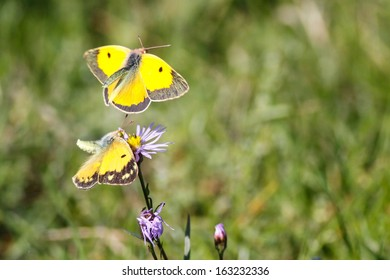 Two butterflies, Clouded Yellow, female one on flower, male in flight courting female with green background.
