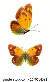 Two butterflies isolated on a white background. Wings with yellow, brown, green