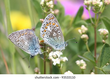 Two butterflies mating among colorful flowers.