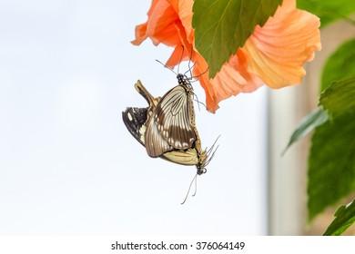 Two butterflies mating on an orange flower
