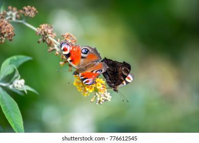 Two butterflies on flowers
