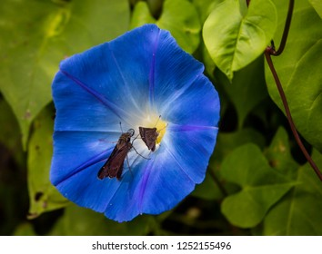 Two butterflies on gorgeous blue morning glory petals, with one waiting to take its turn at extracting nectar from the flower,