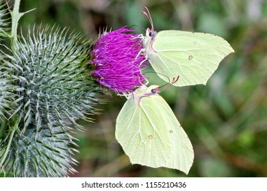 Two butterflies on a thistle