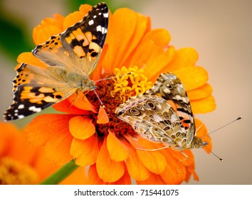 Two butterflies share the same flower