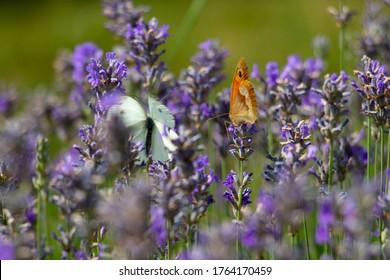 Zwei Schmetterlinge sitzen auf einem violetten, blühenden Lavendel.