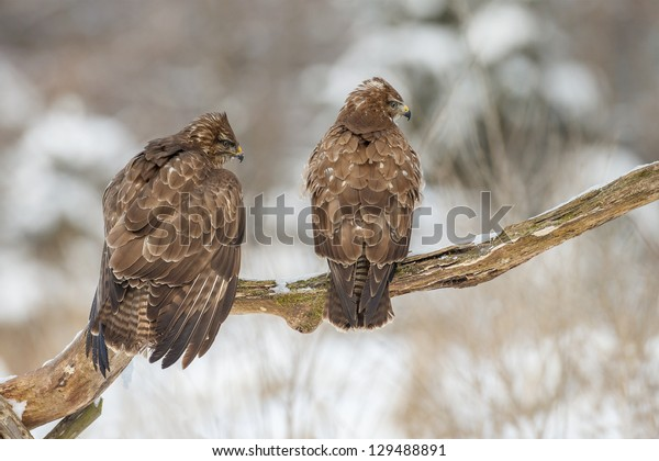 Two buzzards looking right on a mossy branch