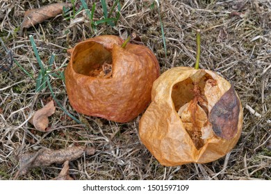 Two by wasps hollowed apples on a lawn in summer