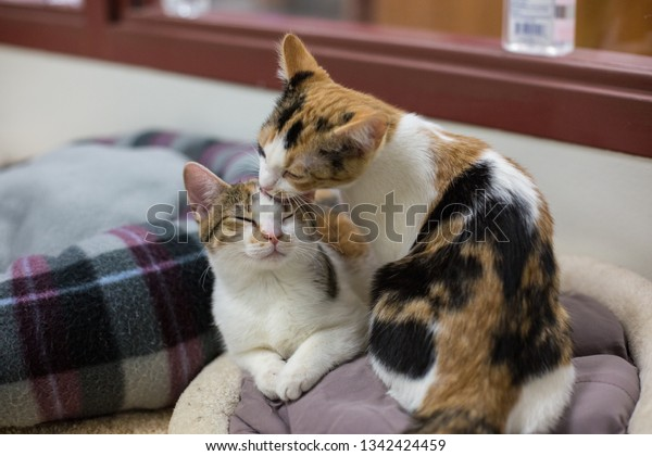 Two Calico cats groom each other while waiting for adoption at an animal shelter