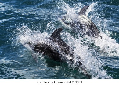 Two California common dolphins (Delphinus delphis) playing in the ocean near San Diego California USA.