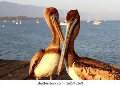 Two California pelicans on the Santa Barbara pier.
