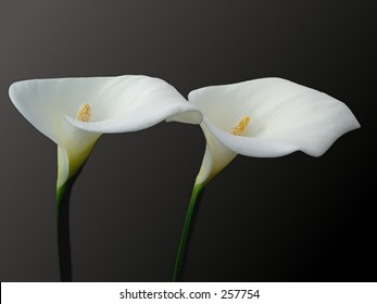 Two callas with light from left on  a dark background