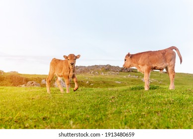 two calm and relaxed brown calves grazing in the green field at sunset. Calf looking at camera.