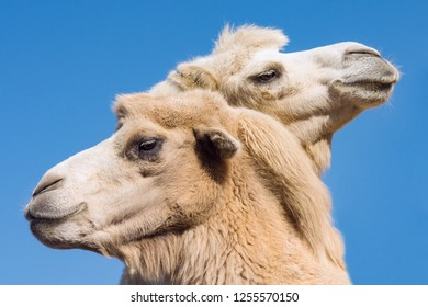 Two camel or dromedary heads are on blue background.