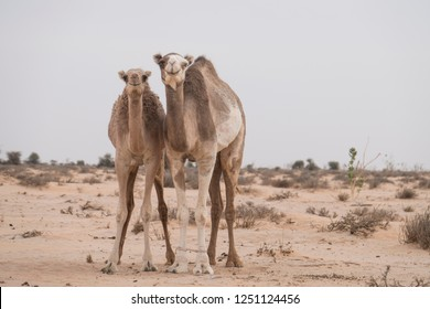 Two camels close together in love in the Sahara desert
