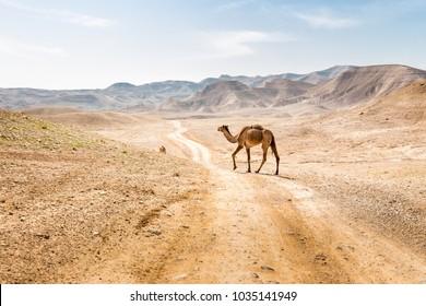 Two camels crossing desert road pasturing Judaean desert Dead sea, Israel.