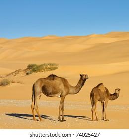 Two Camels in the Desert - Awbari Sand Sea, Sahara Desert, Libya