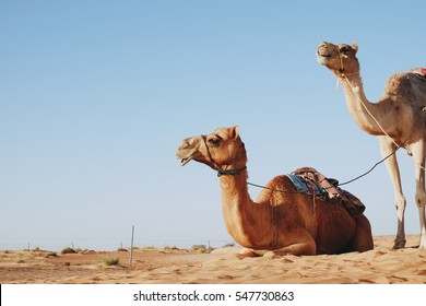 Two camels in desert at Wahiba sand, Oman