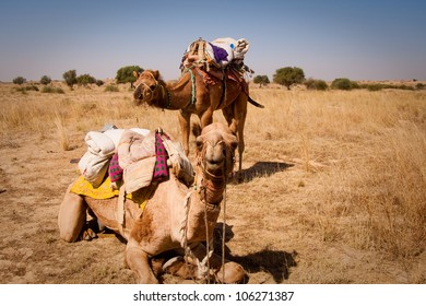 Two camels loaded with supplies for a safari through the desert