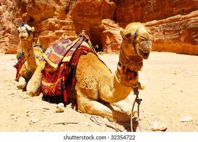 Two camels near Treasury temple at Petra (Al Khazneh), Jordan