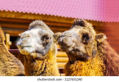 Two camels portrait. Camel caravan rest. Camel group photo