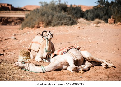 Two camels resting during a very hot day in Central Morocco, North Africa.