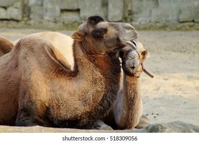 Two camels resting in a sunny warm day