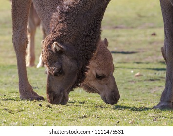 Two camels side by side grazing