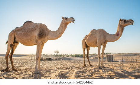 two camels silhouette, camels in the desert