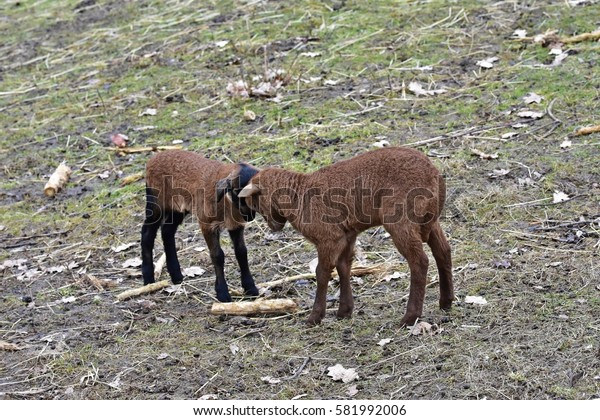 two Cameroon sheep lambs in the play