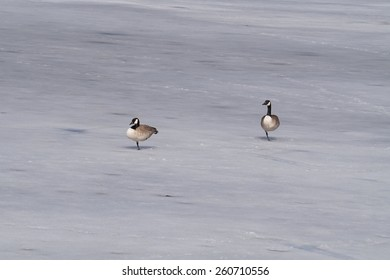 Two Canada Geese balancing on one leg on a frozen pond just before Spring