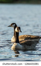 Two canada geese in Dalarna, Sweden. Swimming in the river of Dalälven