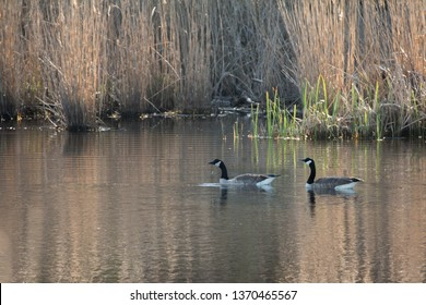 Two Canada geese swimming on a pond.  Lexington Park, MD, USA.