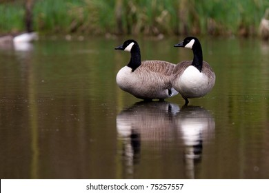 Two canadian geese
