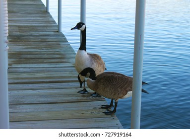 Two Canadian Geese On The Dock At The Marina