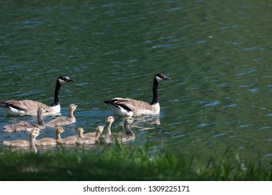 Two Canadian geese parents and nine babies go for a swim in a calm pond next to the shore in spring.