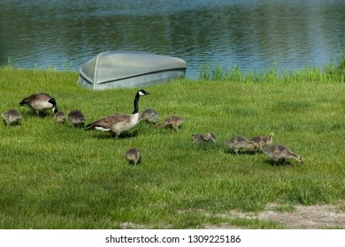 Two Canadian geese parents and ten babies forage in the green spring grass on the shore of a pond next to a small boat.