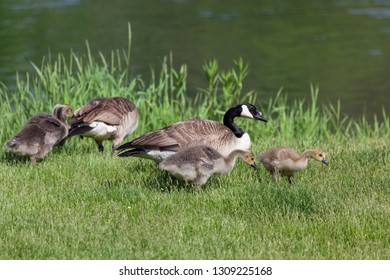 Two Canadian geese parents and their babies forage in the green spring grass on the shore of a pond next to a small boat.
