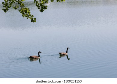 Two Canadian geese quickly swimming across a calm pond in the spring sunshine.