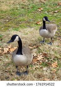 Two Canadian geese walking on grass during winter