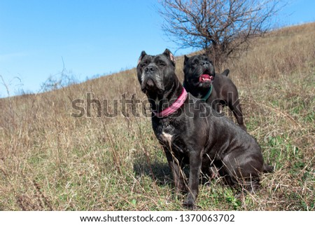 Two Cane Corso Cropped Ears Black Stock Photo Edit Now 1370063702