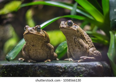 Two cane toads (giant neotropical toads) standing in aquarium in Berlin (Germany)
