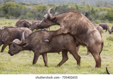 Two Cape buffalo with large horns attempting to mate