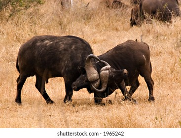 Two Cape buffaloes fighting in kruger national park africa