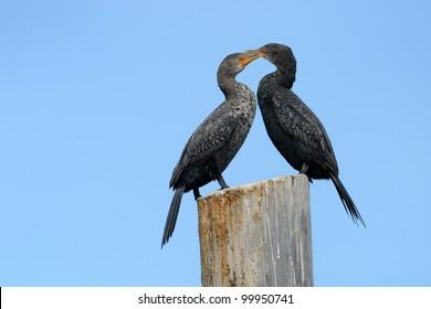 Two Cape Cormorants on a pole.