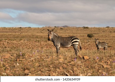Two Cape Mountain Zebra standing in the middle of a stony Karoo open plain, Equus zebra zebra, Eastern Cape, South Africa.