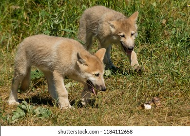 Two captive Arctic Wolf pups are stalking a bone in the grass at the zoo. Toronto, Ontario, Canada.
