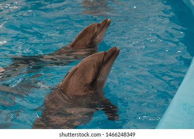 Two captive dolphins in the pool